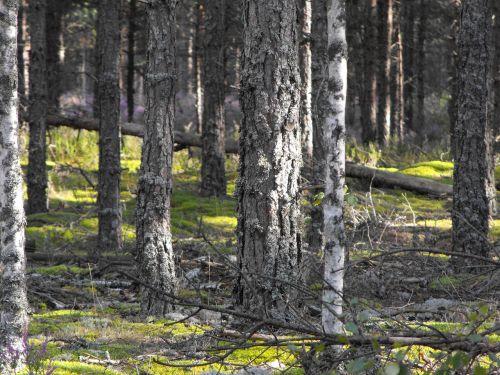 sunbeam forest pine