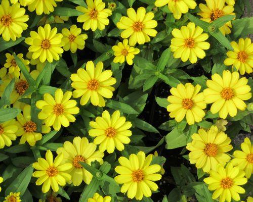sundancer daisies flower sundancer