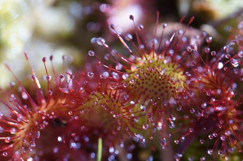 sundew carnivore plant