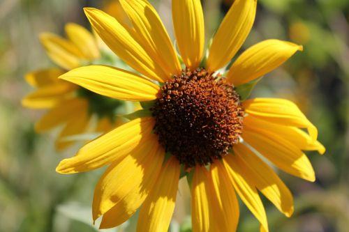 saulėgrąžos,sodas,botanikos,vasara,geltona,gamta,sodininkystė,šviesus,žydi,žiedlapis,spalvinga,botanika,lauke,natūralus,gėlių,Natūralus grožis,laimė,Žemdirbystė,džiaugsmas,šlovės,saulėtas,puikūs