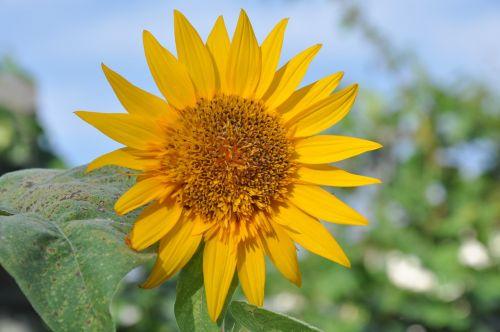 sunflower campaign