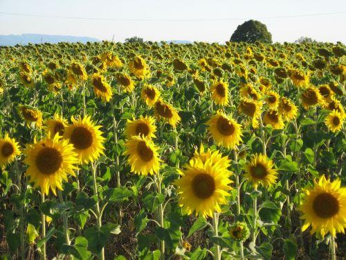 sunflower field sunflower field