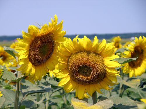 sunflower field rural