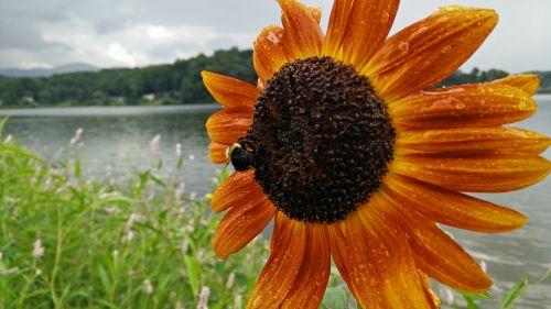 sunflower rain bee