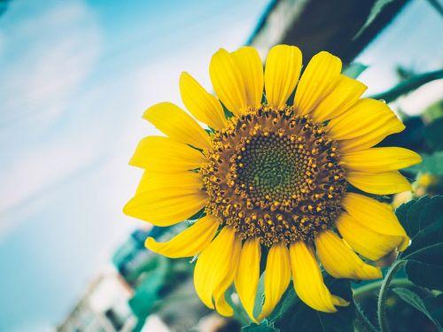 saulėgrąžos,gėlė,gamta,augalas,vasara,augimas,šviesus,sodas,žiedlapis,botanika,gyvas,lapai,žiedas,žiedadulkės,flora,vienas,žydėti,gėlių