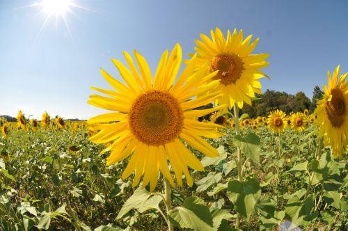 sunflower field sun