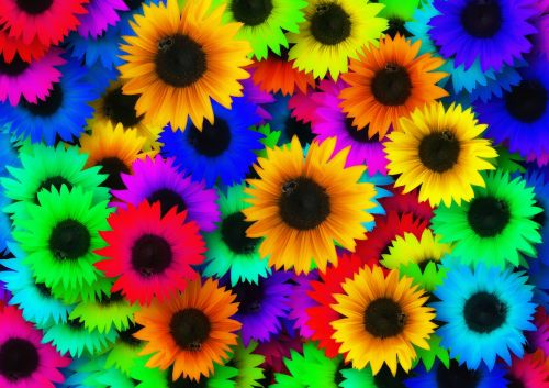 sunflower colorful color