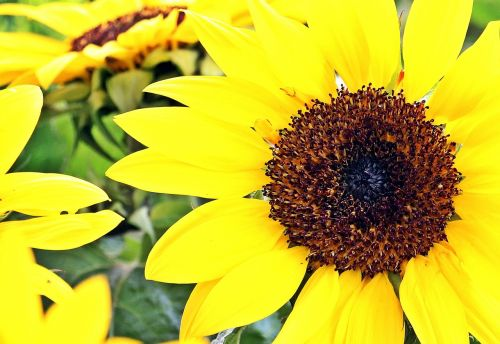 sunflower flowers summer
