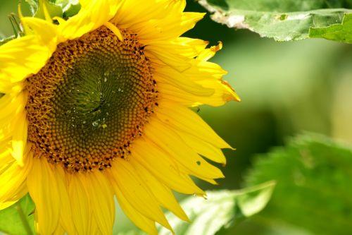 saulėgrąžos,nektaras,žiedadulkės,rinkti,saulėgrąžos,žiedlapiai,geltona