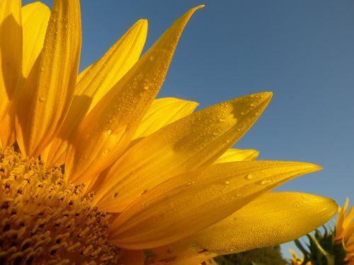 sunflower dew sunshine