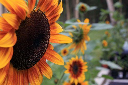 sunflower sunflowers petal