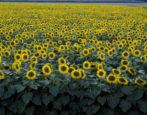 saulėgrąžos,laukas,geltona,gėlė,žydėti,žiedas,žiedlapiai,kraštovaizdis,kaimas,lauke,augalas,auga,šviesus,natūralus,žydi,gėlių,kaimas,gyvas,ūkis,Žemdirbystė