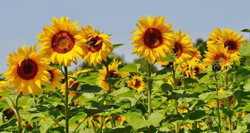 sunflower bees summer