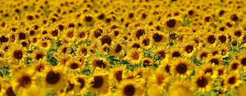 sunflower summer garden