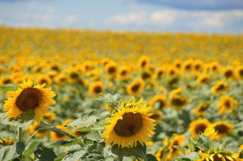 sunflower yellow field