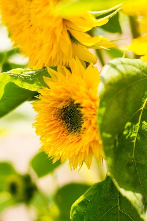 sunflower flower blooming sunflower
