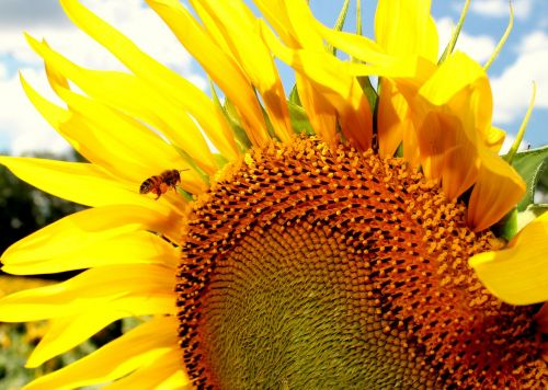 sunflower honeybee bee