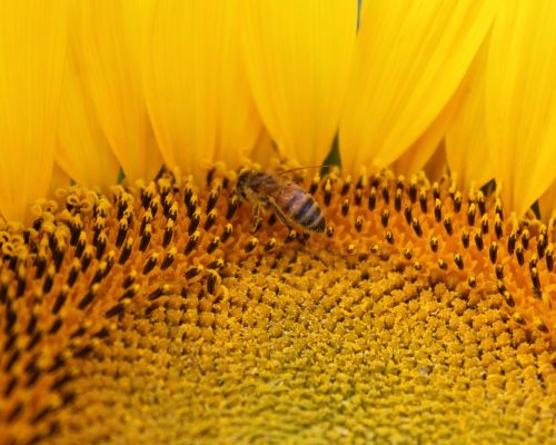 sunflower flower honeybee