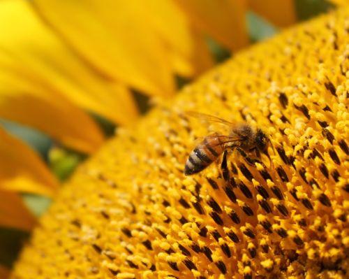 sunflower flower honeybee