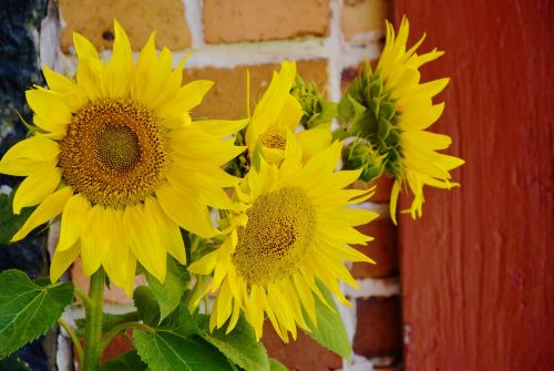 sunflower helianthus annuus ordinary sunflower