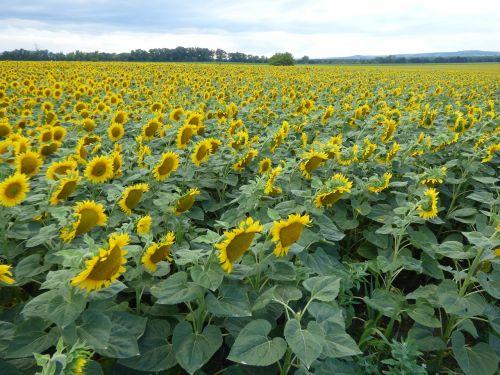 sunflower flower yellow