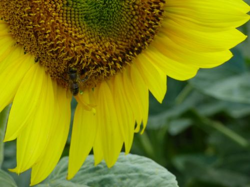 sunflower flower yellow