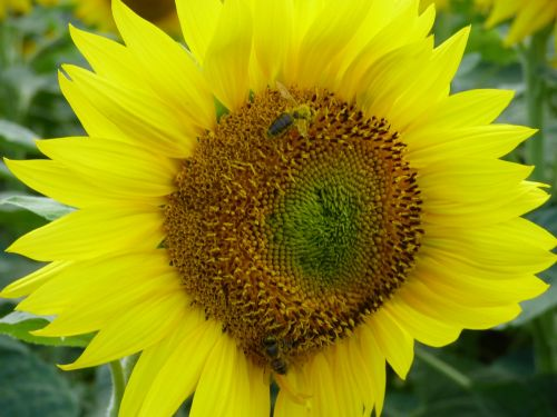 sunflower flower bee