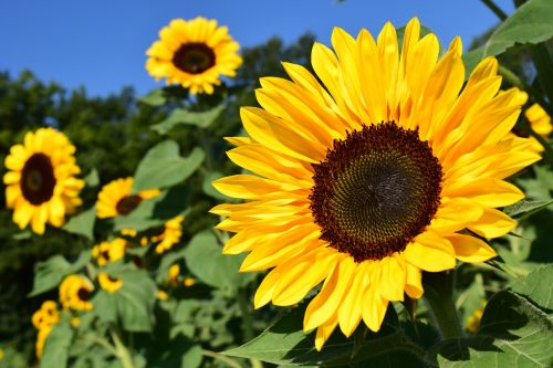 sunflower sunflower field yellow