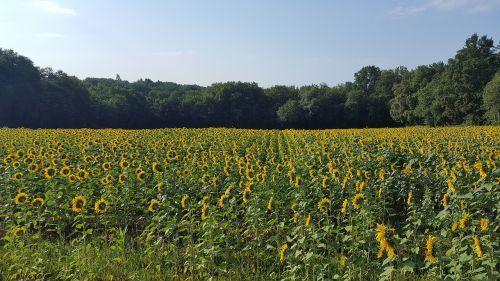 sunflower field sunny