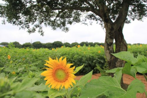 sunflower farm outing