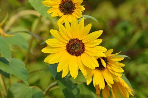sunflower yellow late summer