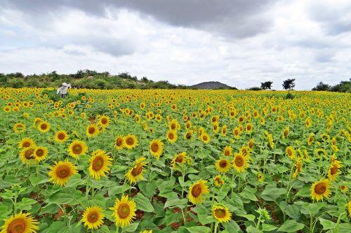 sunflower karnataka india