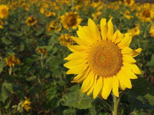 saulėgrąžos,geltona,saulėtas ūkis