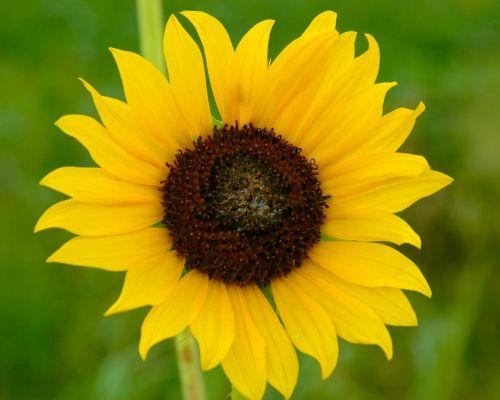 sunflower nature green