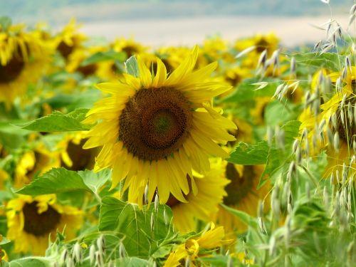 sunflower field flower