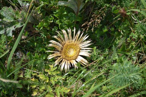 sunflower dead flower flower