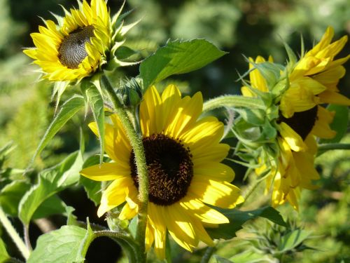 sunflower sunflowers sunflower seeds