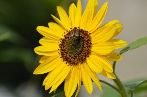 sunflower yellow flower