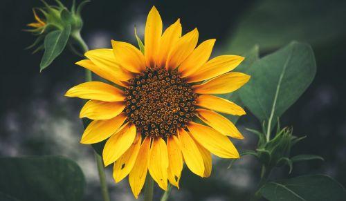 sunflower balboa park closeup