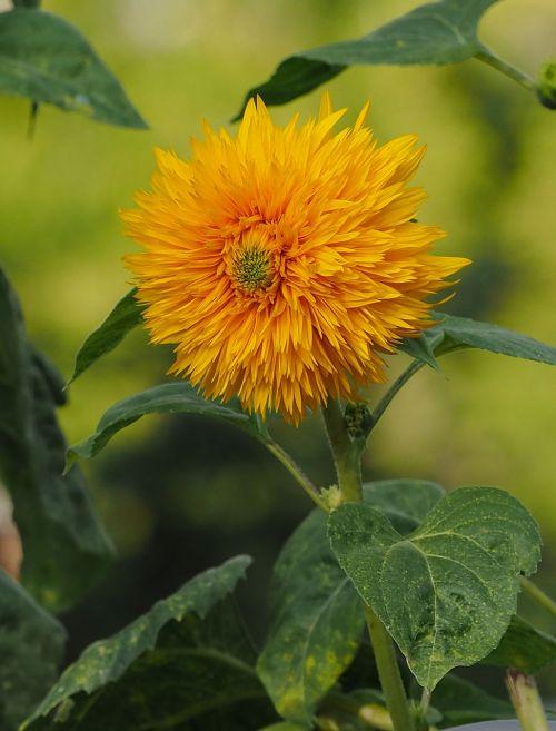 sunflower pompom sunflower pom-pom