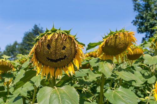 sunflower summer field