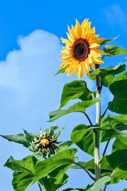 sunflower flower florets