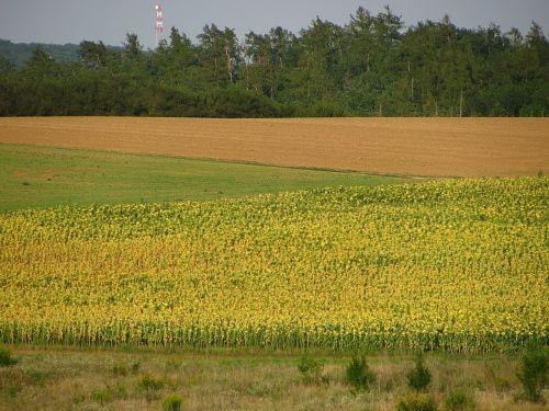sunflower sunflower field field