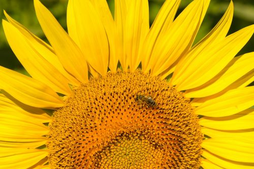 sunflower flower bee