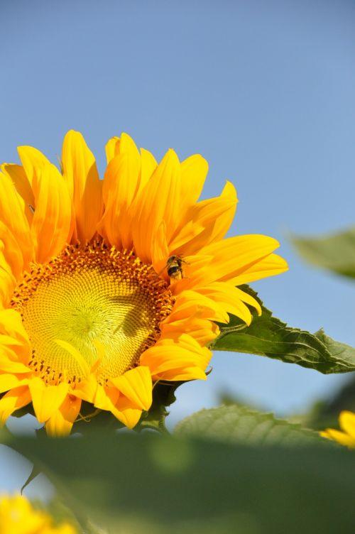 sunflower summer honeybee