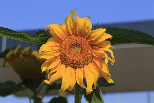 sunflower edit flower