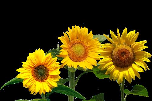 sunflower summer late summer