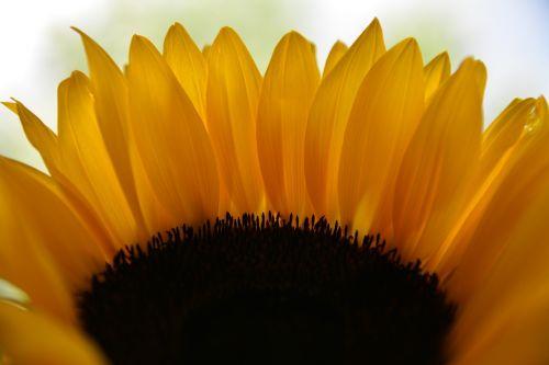 sunflower the petals sunflower petals