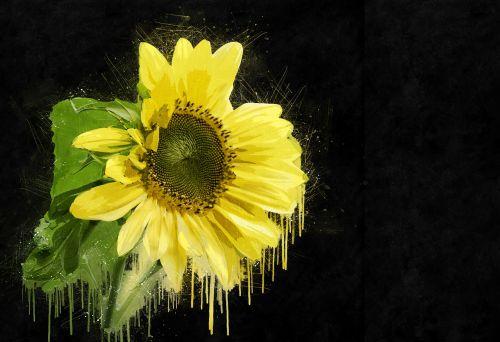 sunflower plant yellow