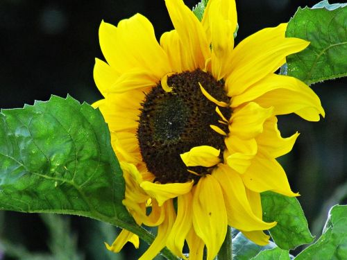 sunflower flower nature